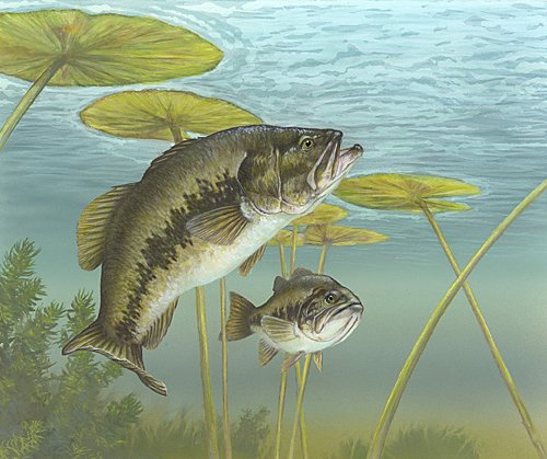 By Timothy Knepp - en: Image:Micropterus salmoides 2.jpg from U.S. Fish and Wildlife Service, Public Domain, https://commons.wikimedia.org/w/index.php?curid=1006711